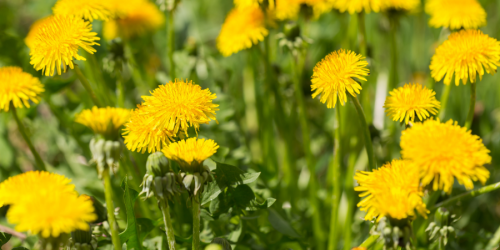 A photo of dandelions is shown.