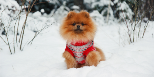 Dog in Sweater in the Snow