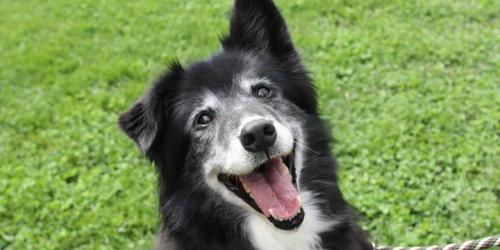 "A black and white dog ""smiles"" for the camera."
