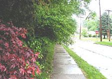 Overgrown trees obstructing a sidewalk