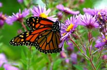 An image of the Monarch butterfly.